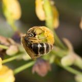 Abeja en la flor amarilla en naturaleza Primer Foto de archivo libre de regalías