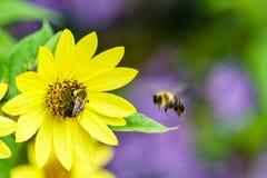 Abeja en la flor amarilla que recoge escena del verano del néctar Imagen de archivo libre de regalías
