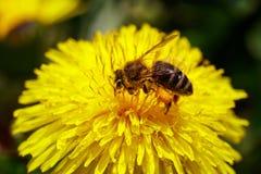 Abeja en la flor amarilla salvaje Foto de archivo