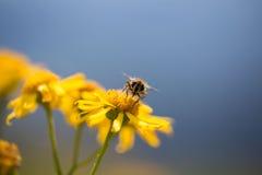 Abeja en la flor amarilla, sumertime Imágenes de archivo libres de regalías