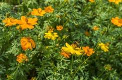 Abeja en la flor amarilla en un jardín Imagen de archivo libre de regalías