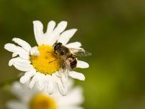 Abeja en la flor amarilla y blanca Imágenes de archivo libres de regalías