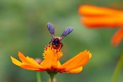 Abeja en la flor anaranjada Fotografía de archivo libre de regalías