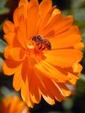 Abeja en la flor anaranjada Foto de archivo