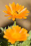 Abeja en la flor anaranjada Imagen de archivo