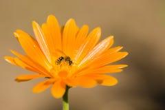 Abeja en la flor anaranjada Foto de archivo libre de regalías