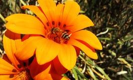 Abeja en la flor anaranjada Imagenes de archivo