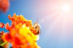 Abeja en la flor anaranjada Fotografía de archivo