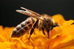Abeja en la flor anaranjada con el copyspace Foto de archivo