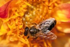 Abeja en la flor anaranjada con el copyspace Imagen de archivo
