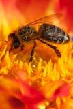 Abeja en la flor anaranjada con el copyspace Imagenes de archivo