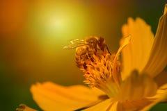 Abeja en la flor anaranjada con luz del sol Imágenes de archivo libres de regalías