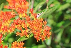 Abeja en la flor anaranjada de los pentas Foto de archivo