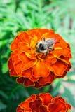 Abeja en la flor anaranjada de la maravilla Imagen de archivo libre de regalías