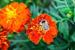 Abeja en la flor anaranjada de la maravilla Foto de archivo libre de regalías
