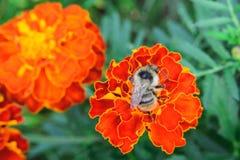 Abeja en la flor anaranjada de la maravilla Imagen de archivo