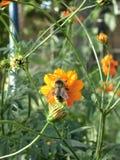 Abeja en la flor anaranjada del cosmos en día de verano soleado Foto de archivo