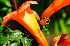Abeja en la flor anaranjada en el fondo verde Foto de archivo