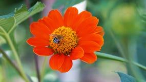 abeja en la flor anaranjada en gardent Foto de archivo