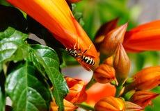 Abeja en la flor anaranjada que recoge el polen Imagen de archivo