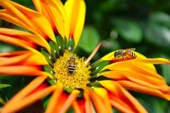 Abeja en la flor anaranjada y amarilla del gazanie Fotos de archivo libres de regalías