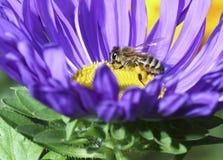 Abeja en la flor azul Imágenes de archivo libres de regalías