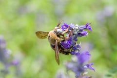 Abeja en la flor azul Fotografía de archivo libre de regalías