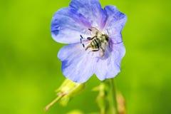 Abeja en la flor azul Foto de archivo libre de regalías