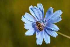 Abeja en la flor azul Fotos de archivo