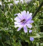 Abeja en la flor azul del día de verano ordinario de la achicoria Fotografía de archivo