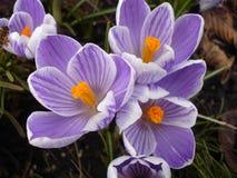 Abeja en la flor azul en jardín de la primavera Foto de archivo libre de regalías