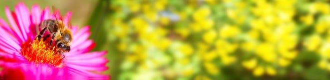 Abeja en la flor, bandera, flores, bokeh Fotos de archivo
