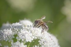 Abeja en la flor blanca Fotos de archivo