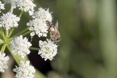 Abeja en la flor blanca Fotografía de archivo