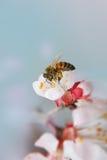 Abeja en la flor blanca Imágenes de archivo libres de regalías