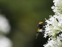 Abeja en la flor blanca Imagenes de archivo