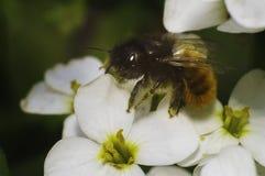 Abeja en la flor blanca Fotografía de archivo libre de regalías