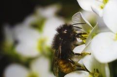 Abeja en la flor blanca Fotos de archivo libres de regalías