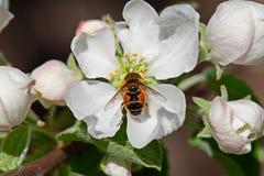 Abeja en la flor blanca Apple Foto de archivo libre de regalías