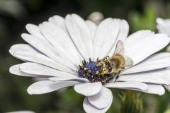 Abeja en la flor blanca con el estambre violeta Foto de archivo libre de regalías