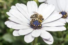 Abeja en la flor blanca con el estambre violeta Imagen de archivo libre de regalías