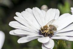 Abeja en la flor blanca con el estambre violeta Fotografía de archivo libre de regalías