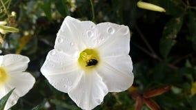 Abeja en la flor blanca con rocío Imagen de archivo