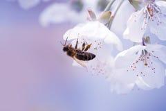 Abeja en la flor blanca de la cereza Imagen de archivo