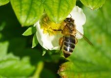 Abeja en la flor blanca de la fresa Fotos de archivo libres de regalías