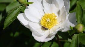 Abeja en la flor blanca de la peonía metrajes