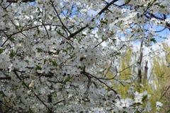 Abeja en la flor blanca del ciruelo Foto de archivo libre de regalías