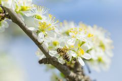 Abeja en la flor blanca del ciruelo con polen en primavera Ciérrese encima del mac Foto de archivo
