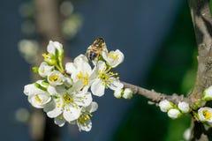 Abeja en la flor blanca del ciruelo con polen en primavera Ciérrese encima del mac Foto de archivo libre de regalías