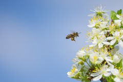 Abeja en la flor blanca del ciruelo con polen en primavera Ciérrese encima del mac Imagen de archivo